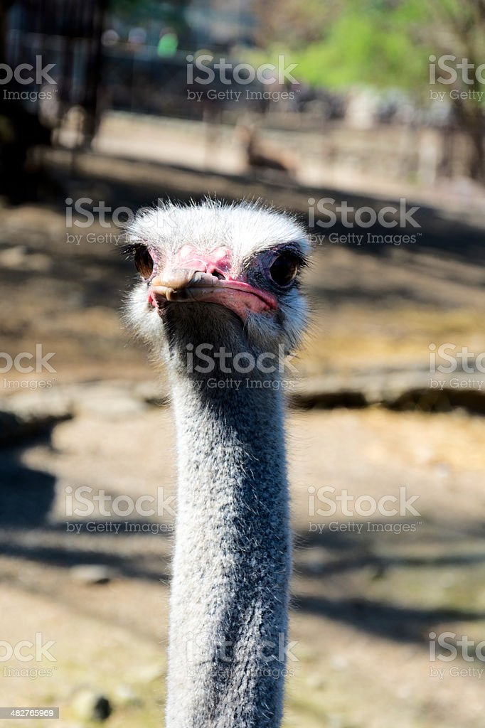 Head of ostrich royalty-free stock photo
