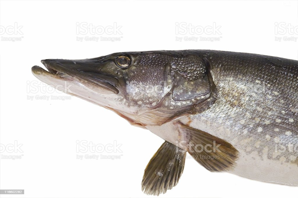 Head of Pike royalty-free stock photo