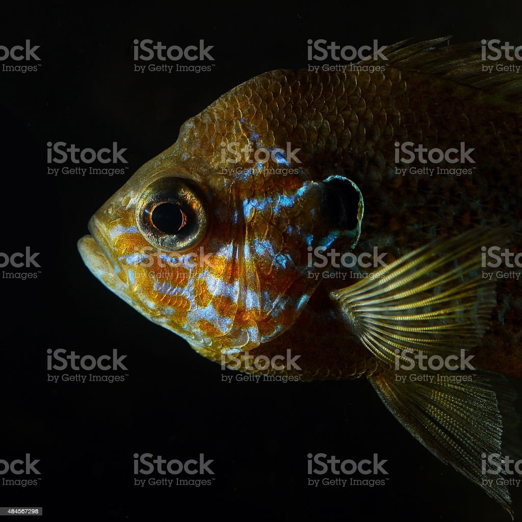 Head of pumpkinseed sunfish (Lepomis gibbosus) stock photo