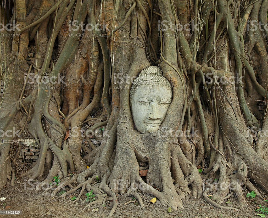 Head of Sandstone Buddha in The Tree Roots royalty-free stock photo