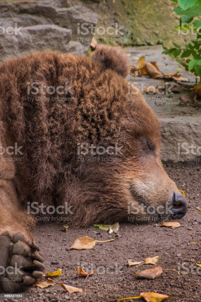 Head of sleeping grizzly bear brown fur tired fluffy stock photo