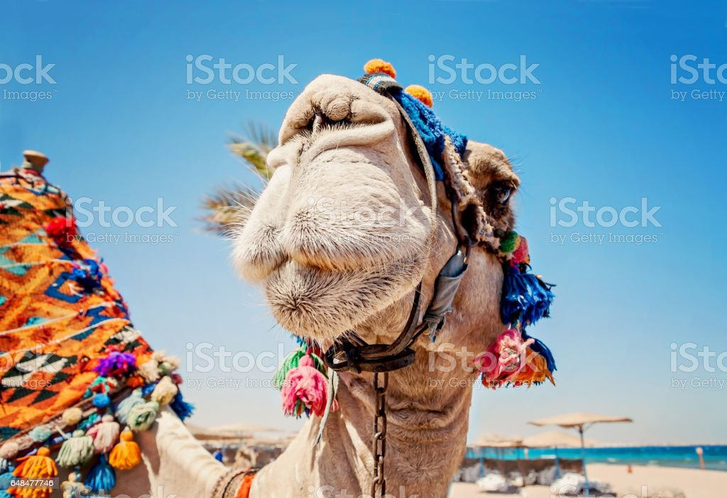 Head of the camel with open eyes, close-up, portrait, Egypt stock photo