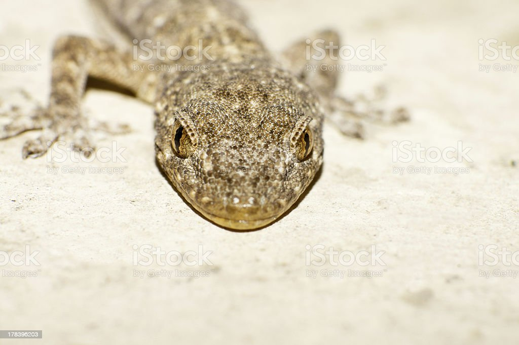 head of the gecko royalty-free stock photo