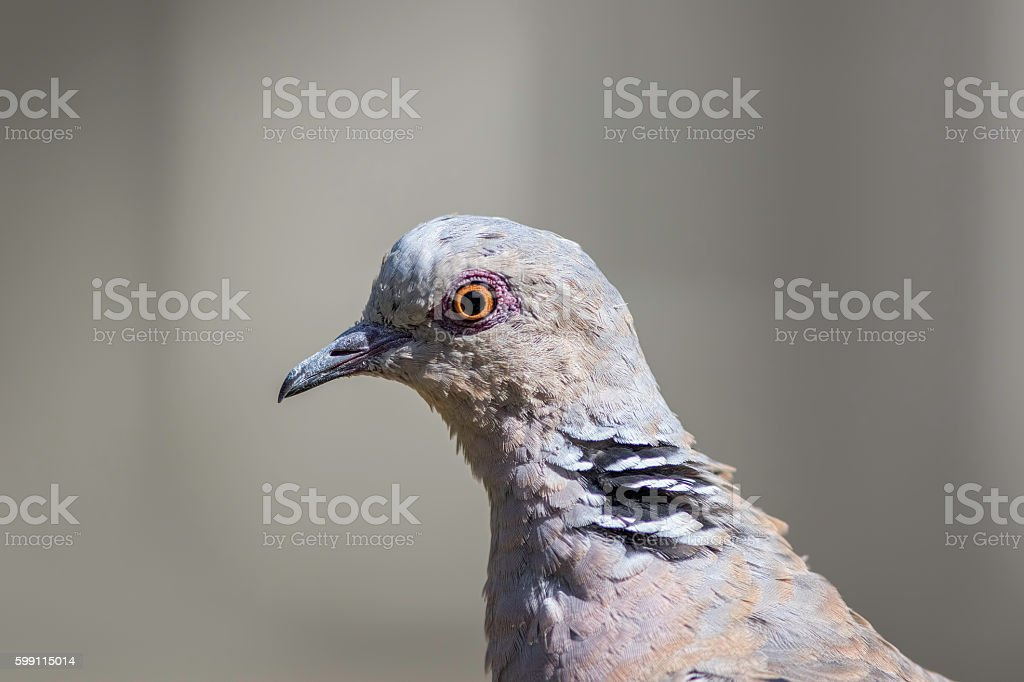 Head of turtle dove in profile with copy space stock photo