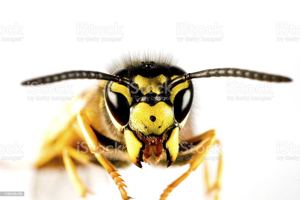 head of wasp in white background stock photo