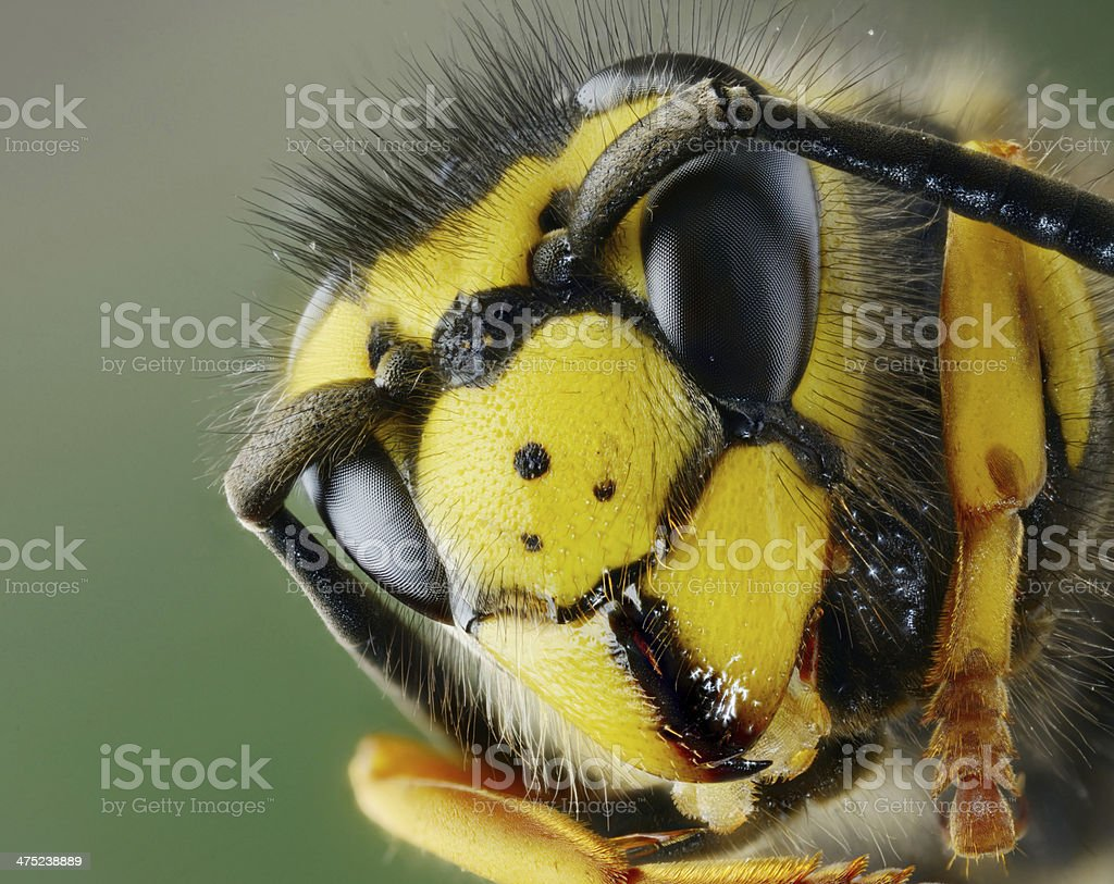 Head of wasp stock photo