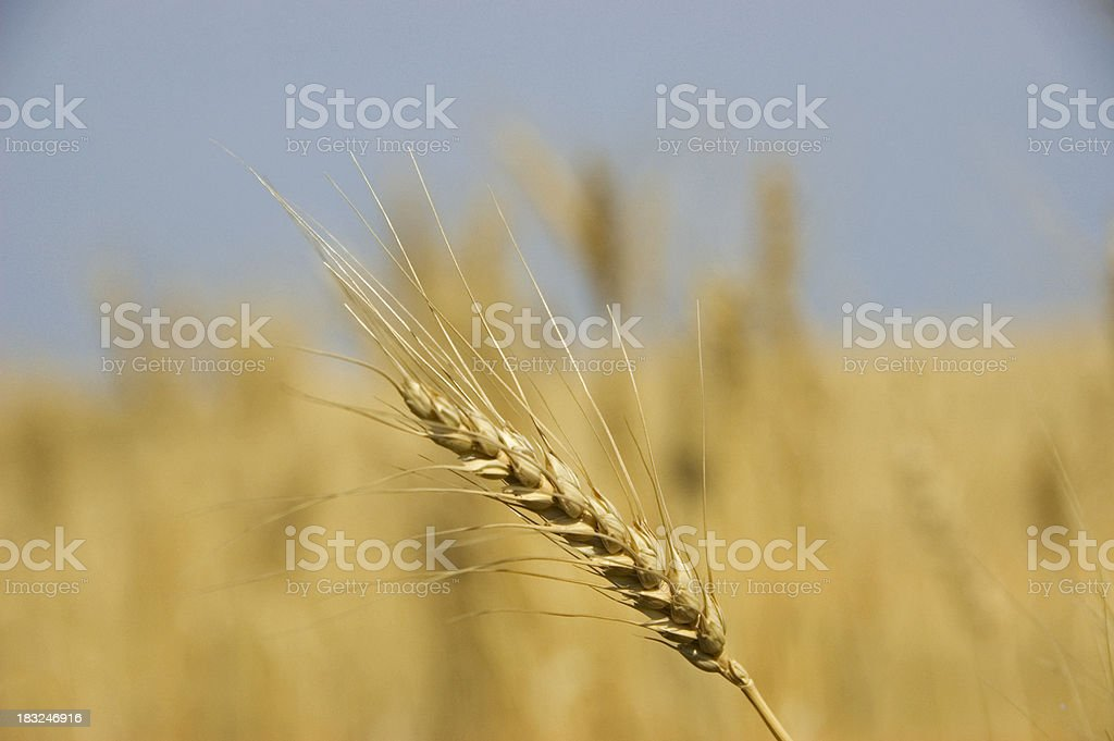Head of wheat royalty-free stock photo
