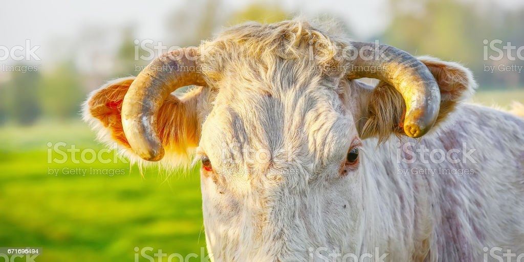 Head off blonde d'Aquitaine pedigree cow in a green natural meadow. Banner stock photo