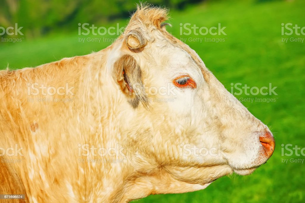 Head off blonde d'Aquitaine pedigree cow in a green natural meadow. stock photo
