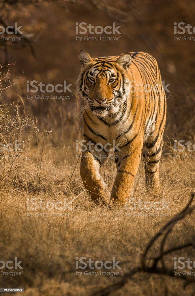 Head on Tiger stock photo