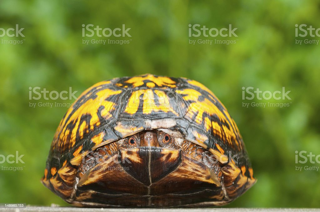 Head on view, box turtle stock photo