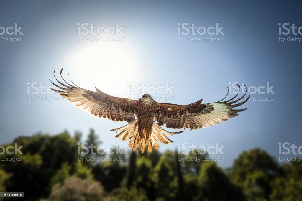 Head on view of hunting Red Kite with sunlight behind stock photo