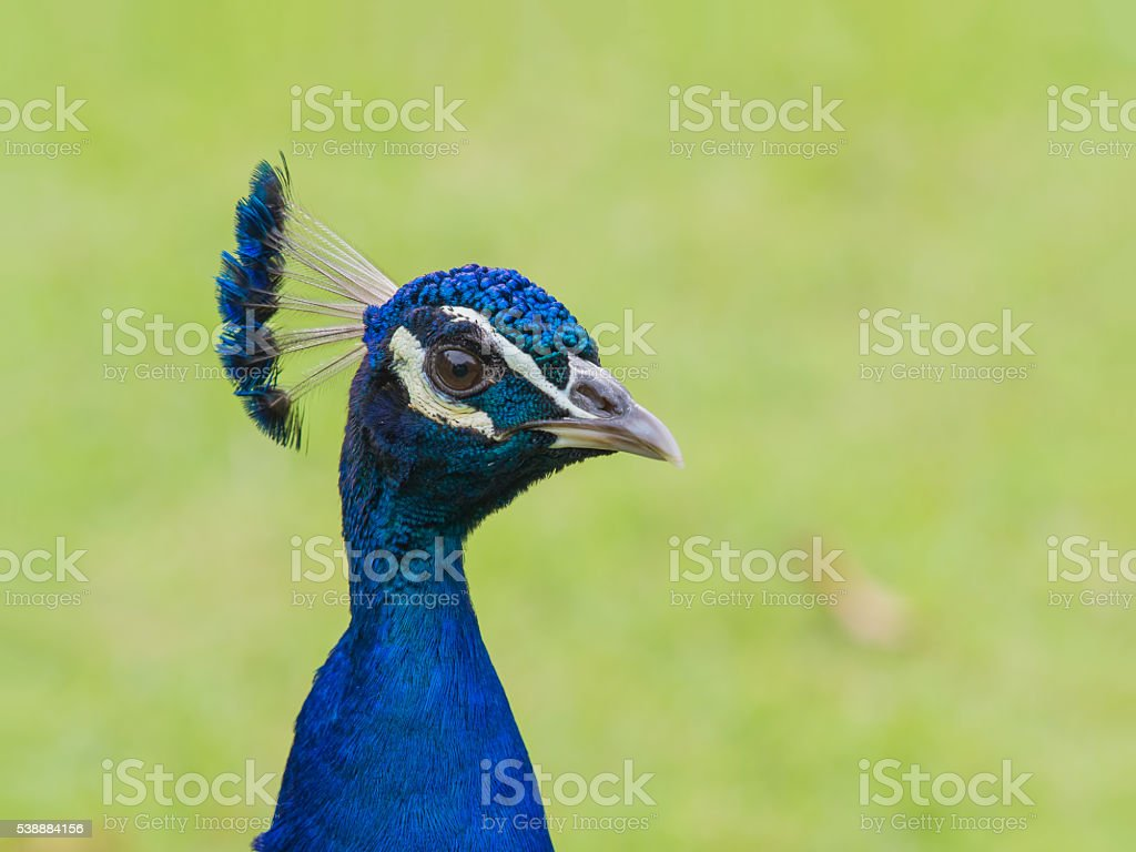 head portrait of Indian peafowl electric blue colorful bird stock photo