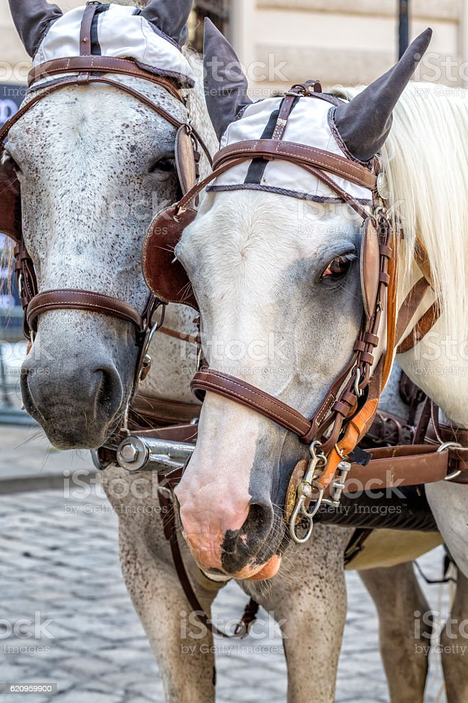 Head portrait of two horses in traditional Vienna carriage. stock photo