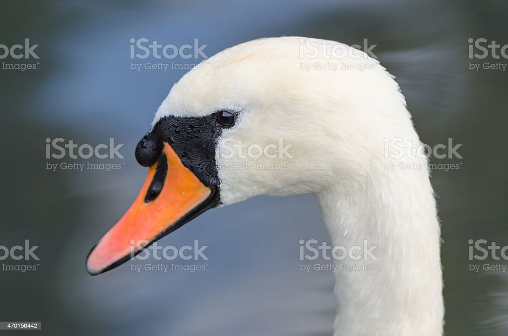 Head profile single portrait of white graceful swan stock photo