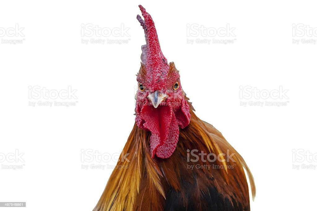 Head Roosters stock photo