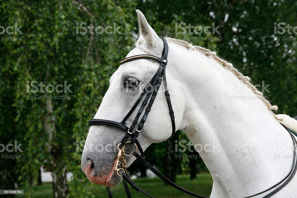 Head shot of a beautiful white horse stock photo