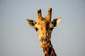 Head shot of a Giraffe watching  proceedings closely