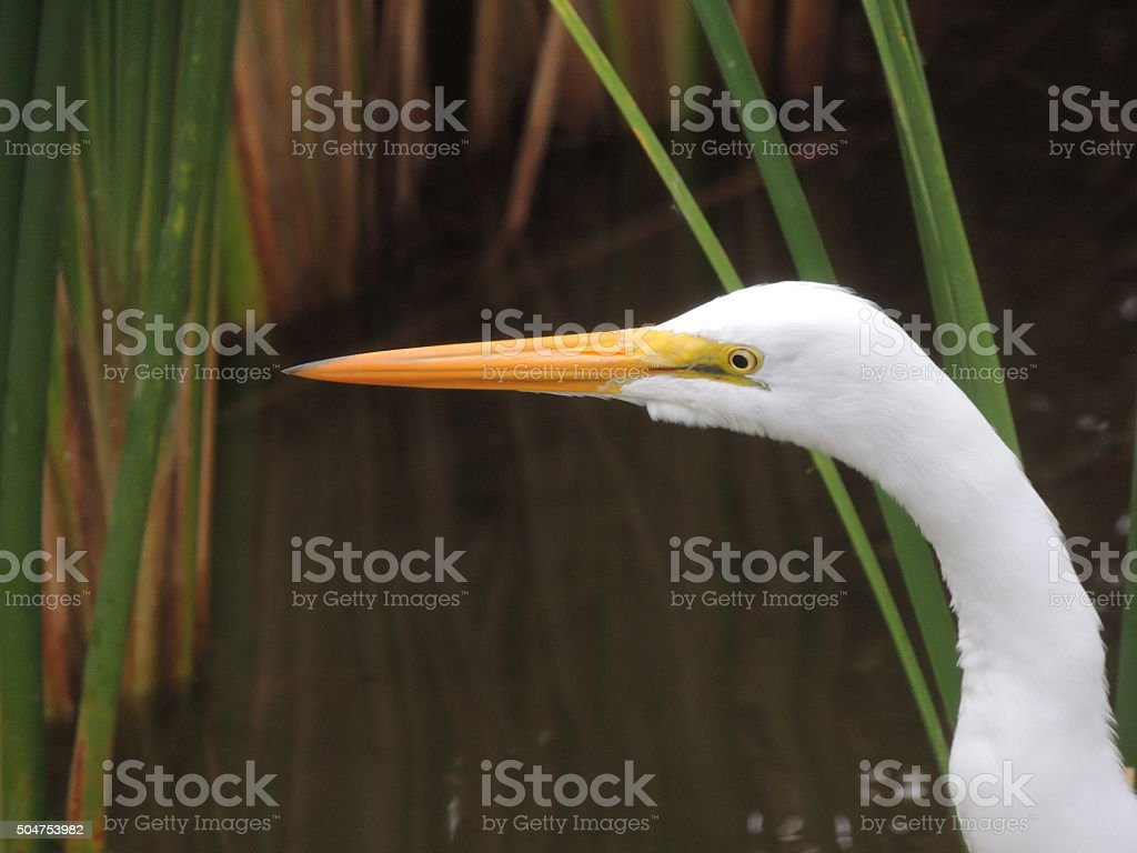 Head shot of a Great Egret or Great White Heron stock photo