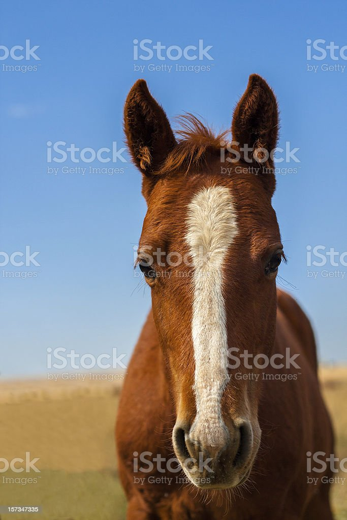 Head shot of a horse stock photo