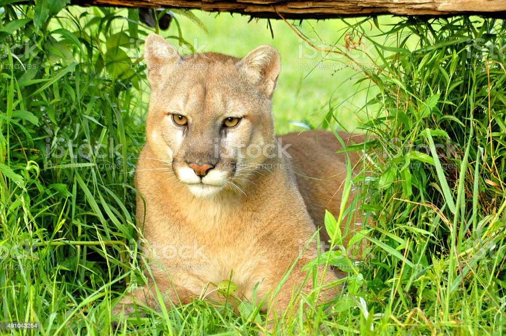Head shot of a Mountain Lion lying under a log. stock photo
