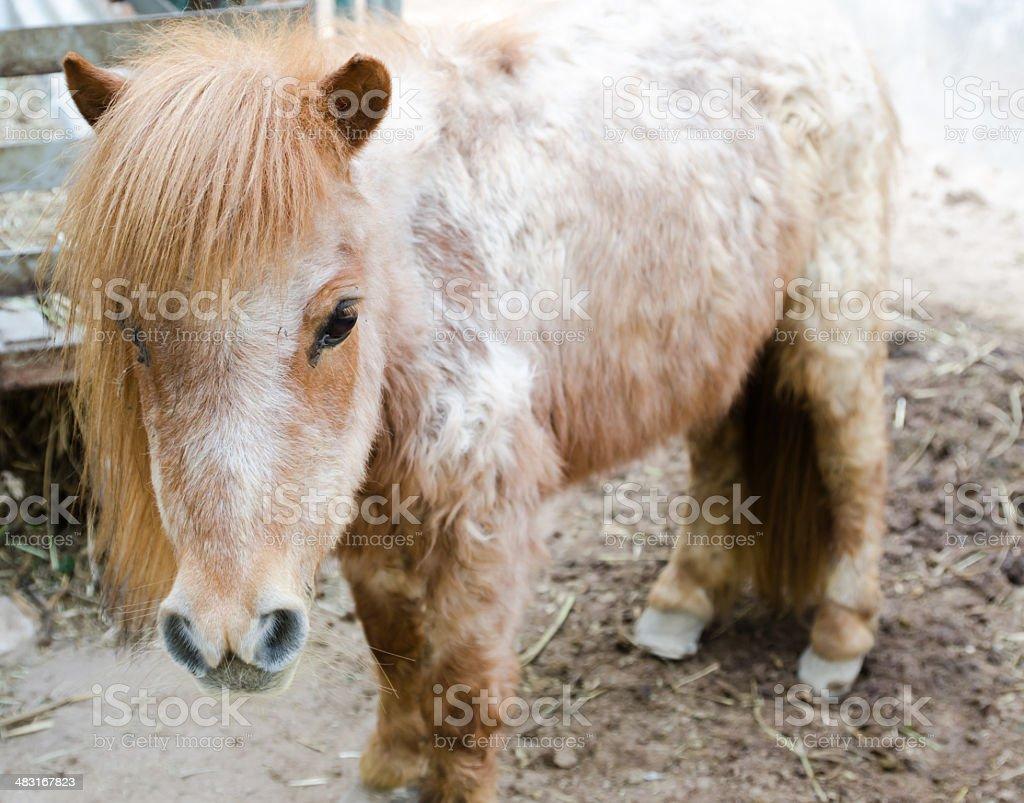 head shot of a pony royalty-free stock photo