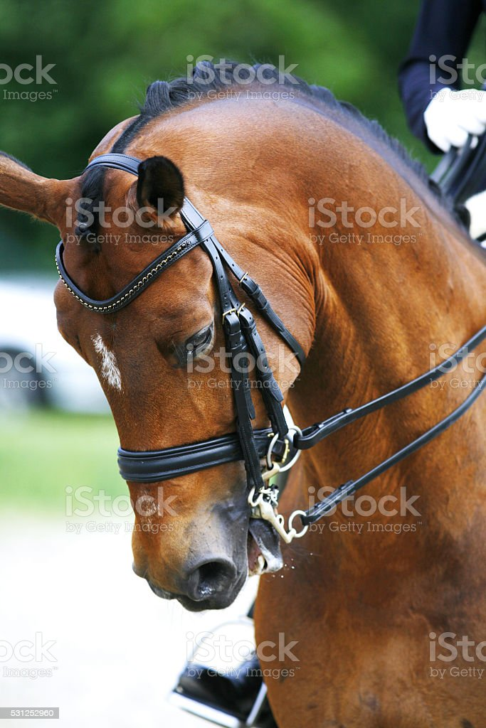 Head shot of a purebred dressage horse outdoors stock photo