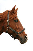Head shot of a purebred thoroughbred young horse