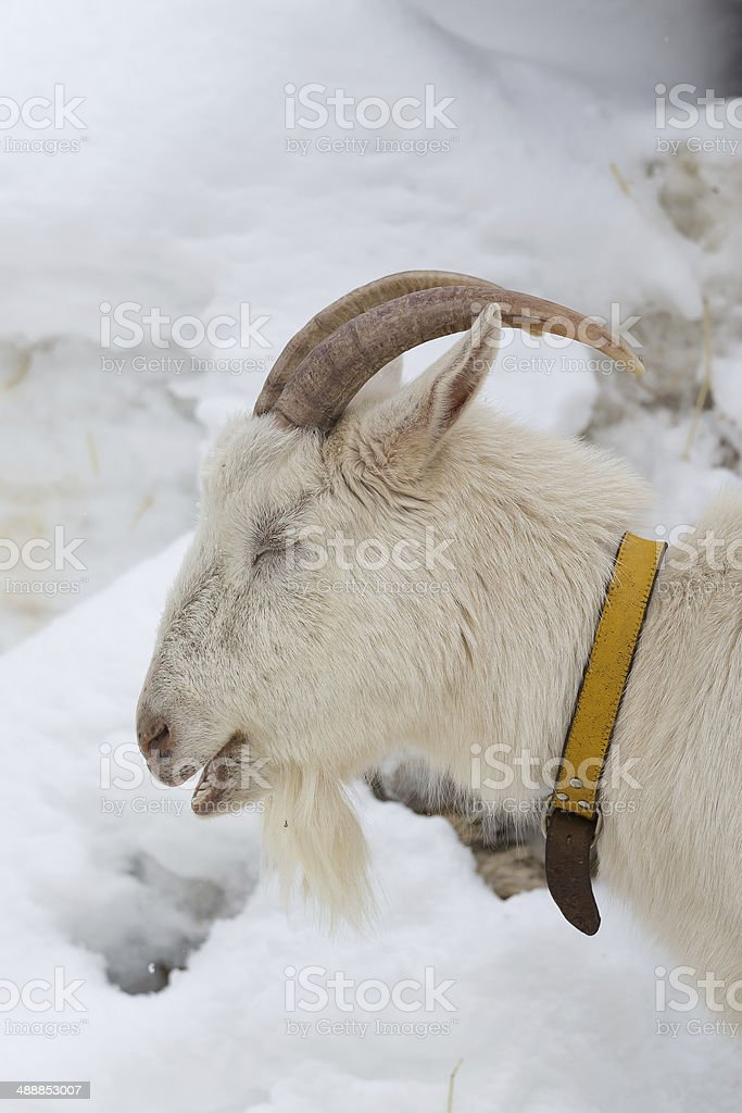 head shot of a white goat stock photo