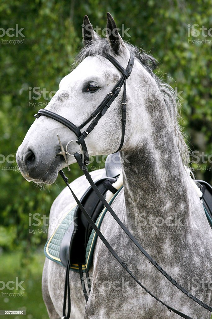 Head shot of a young lipizzaner horse against green  background stock photo