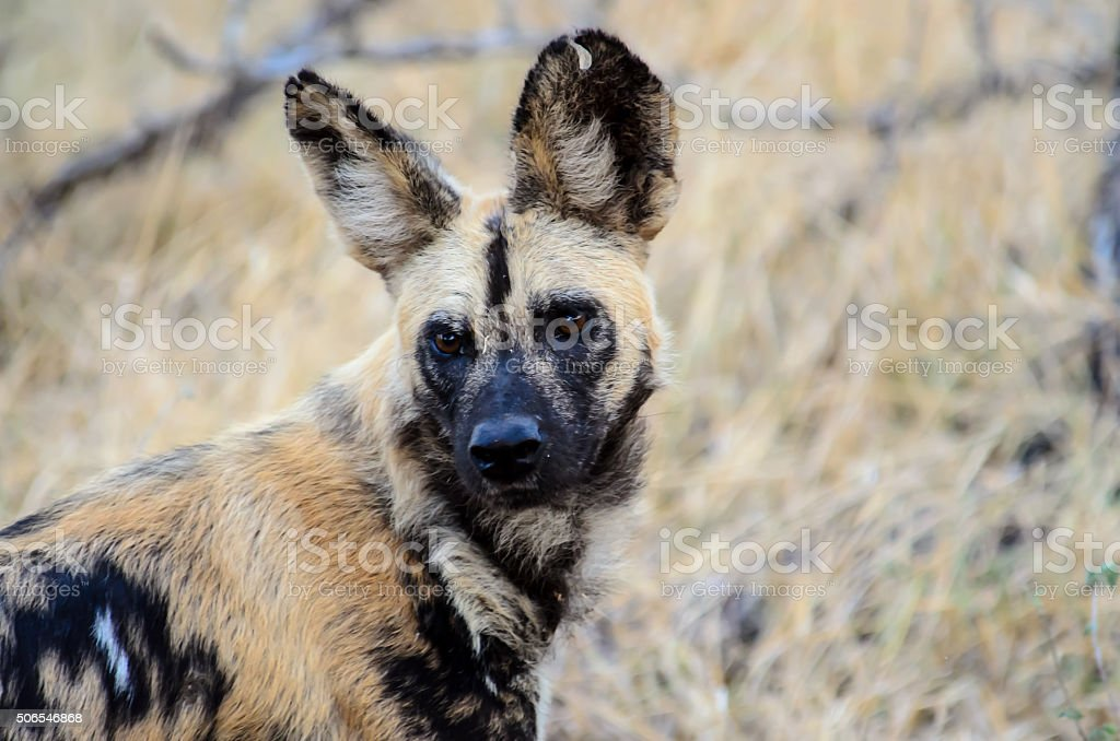 Head shot of an African wild dog stock photo