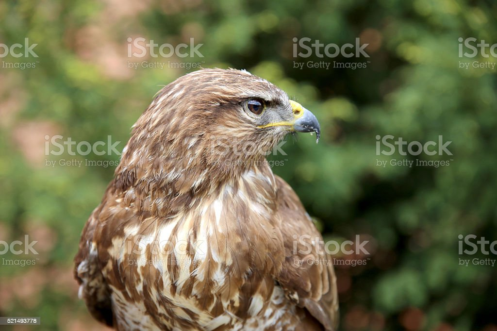 Head shot of an buzzard with blurred green natural background stock photo