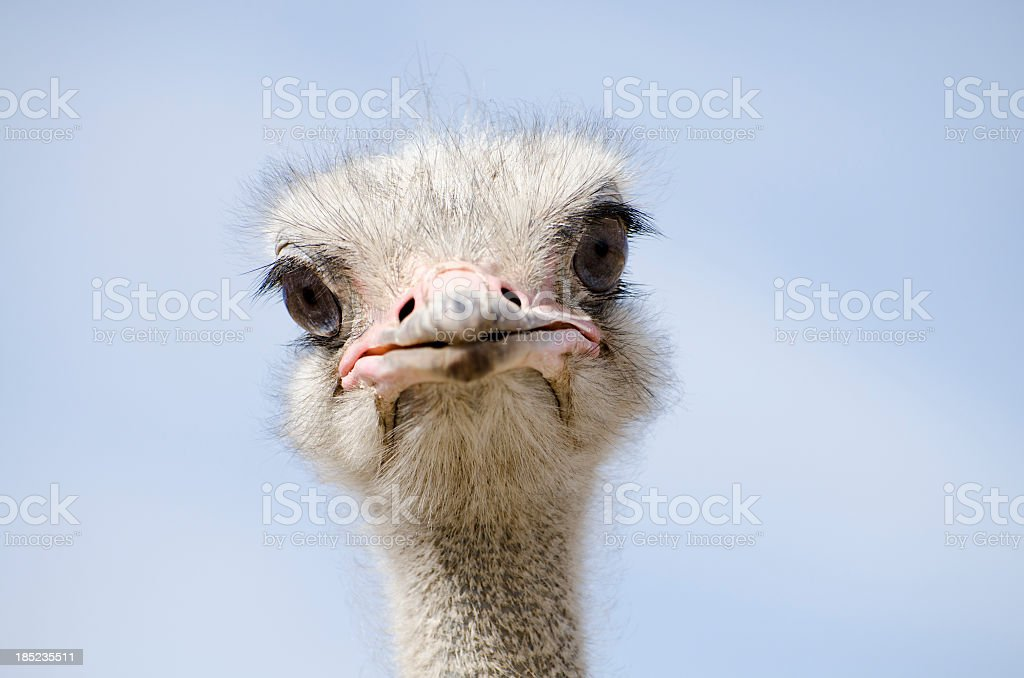 Head shot of an ostrich looking at the camera stock photo