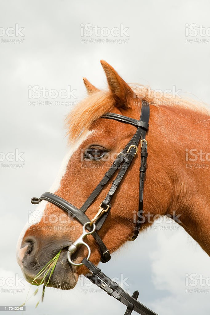 Head shot of chestnut horse royalty-free stock photo
