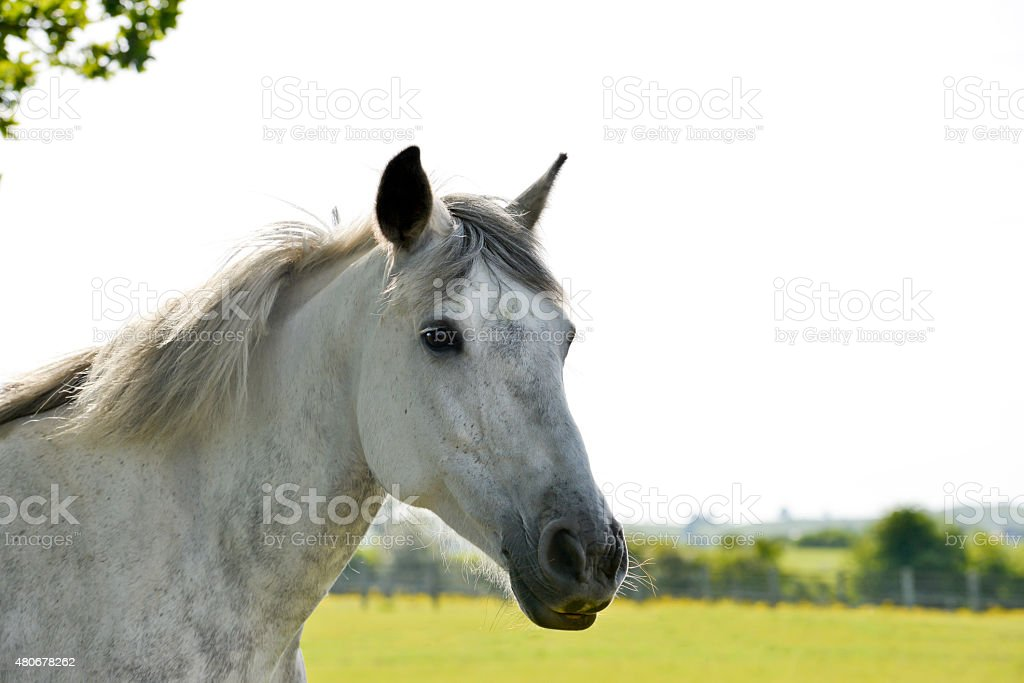 Head shot of grey horse stock photo
