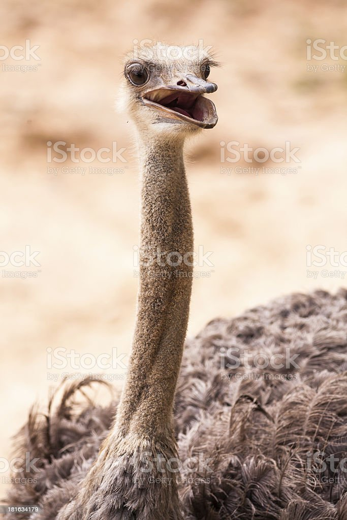 Head shot of Ostrich royalty-free stock photo