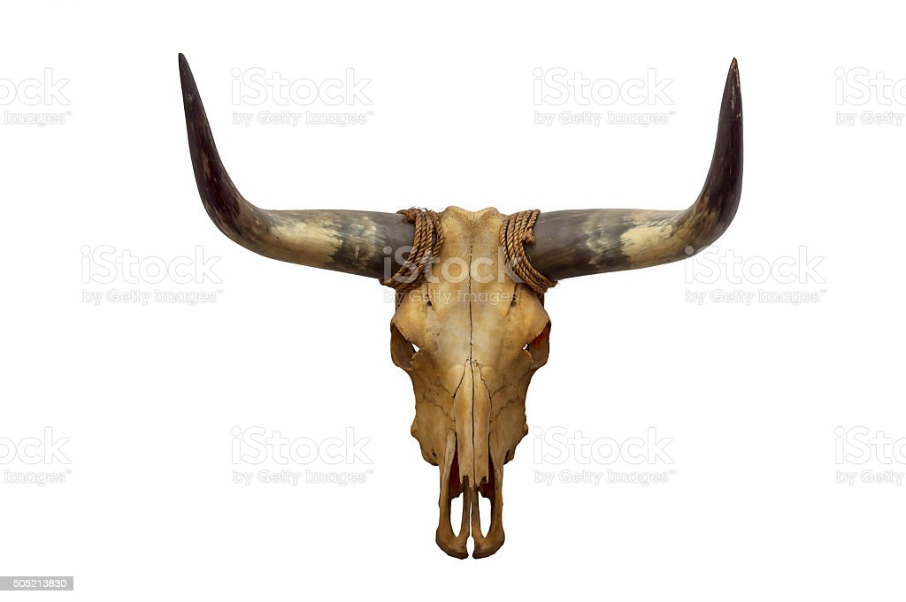 Head skull of bull stock photo