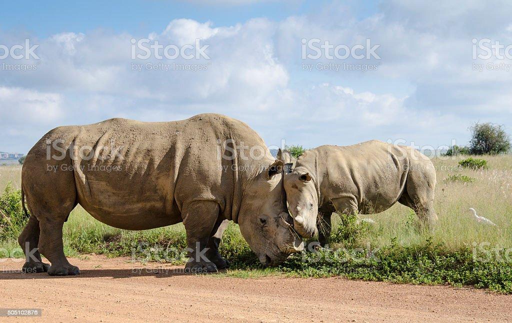 Head to head rhinos stock photo