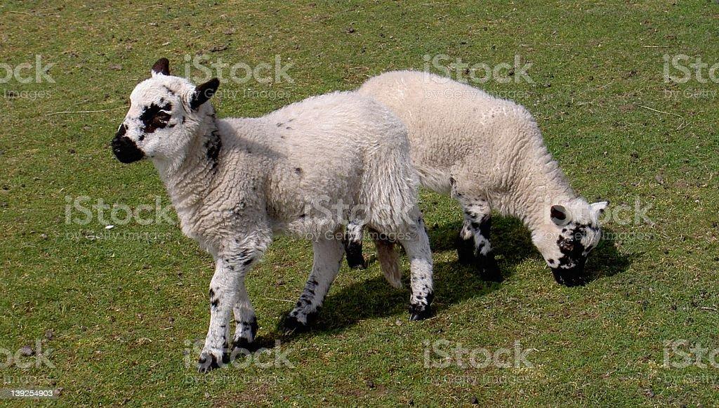 2 headed lamb stock photo
