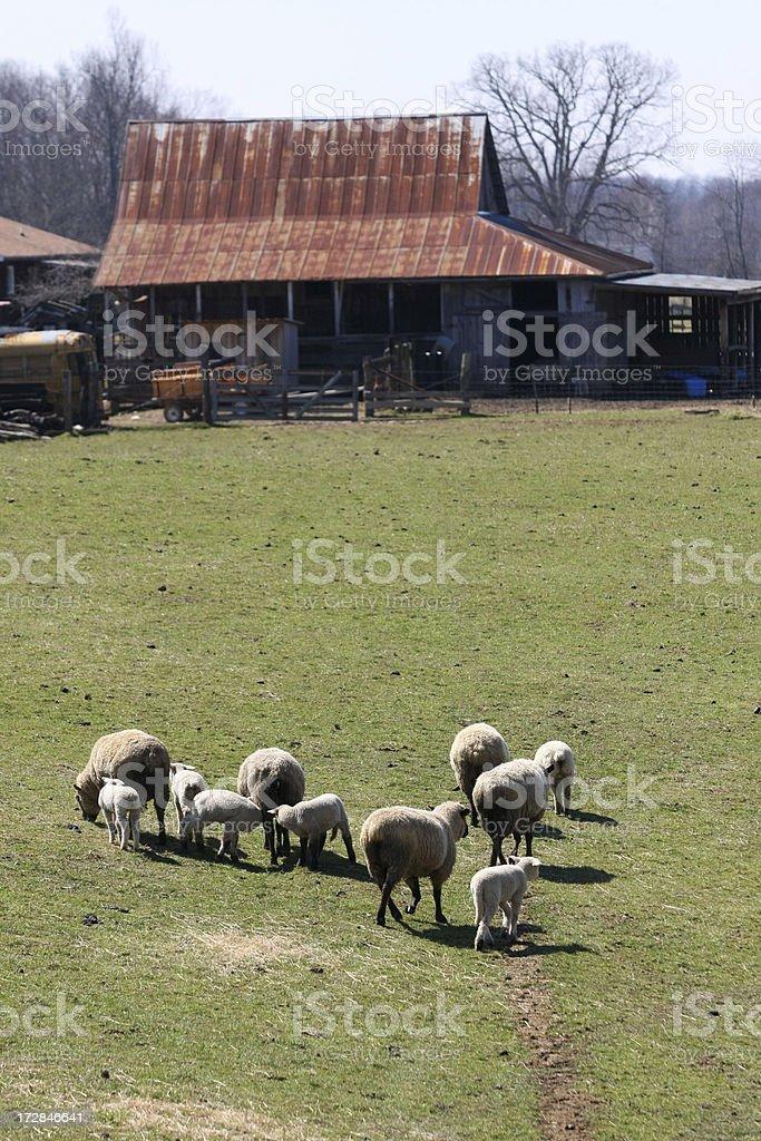 Headed Toward the Barn stock photo