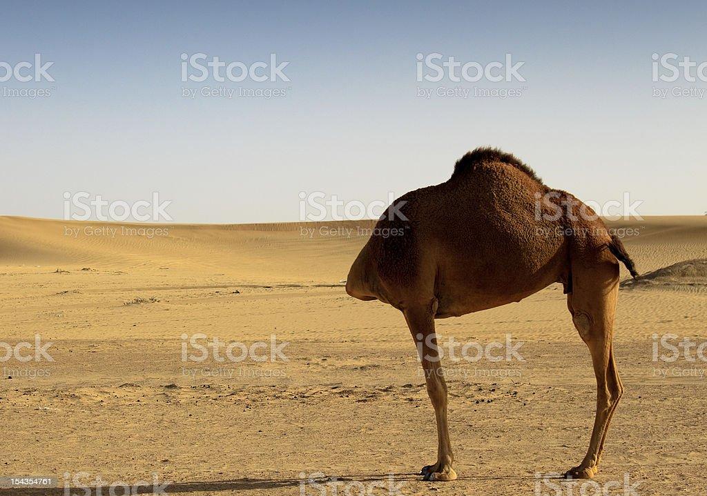 Headless Camel royalty-free stock photo