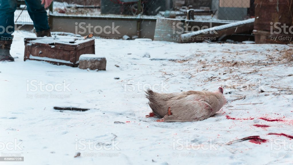 headless carcass of a goose moves on the snow in stock photo