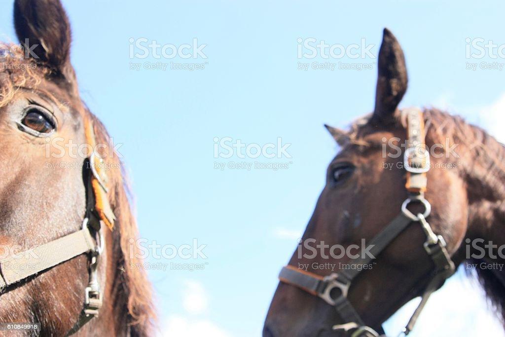 Heads of horses stock photo