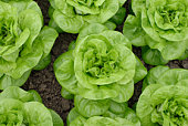 Heads of lettuce in the ground