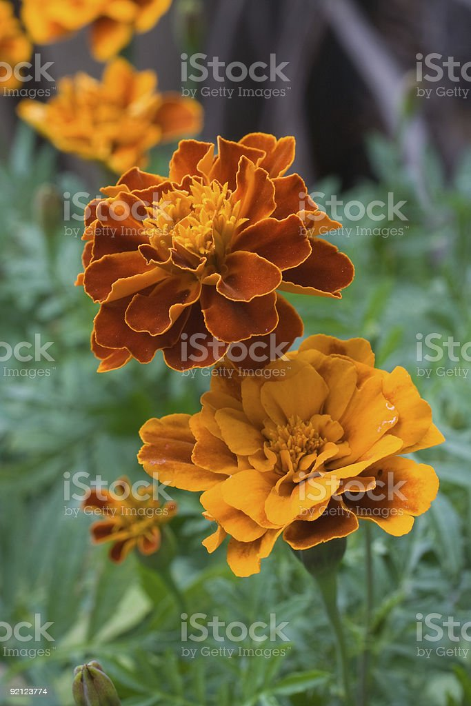 Heads of marigoldes royalty-free stock photo