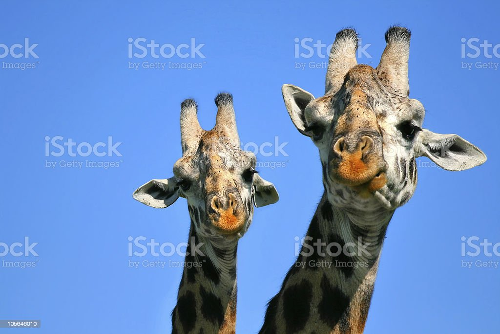 Heads of mother and baby giraffe against the sky royalty-free stock photo