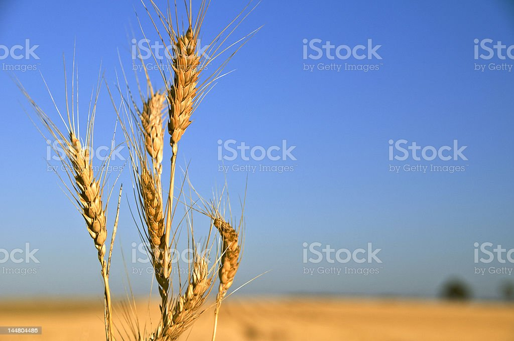 Heads of Wheat at Sunrise royalty-free stock photo