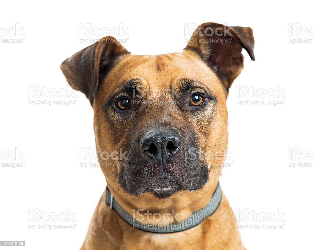 Headshot Big Dog Looking Into Camera stock photo
