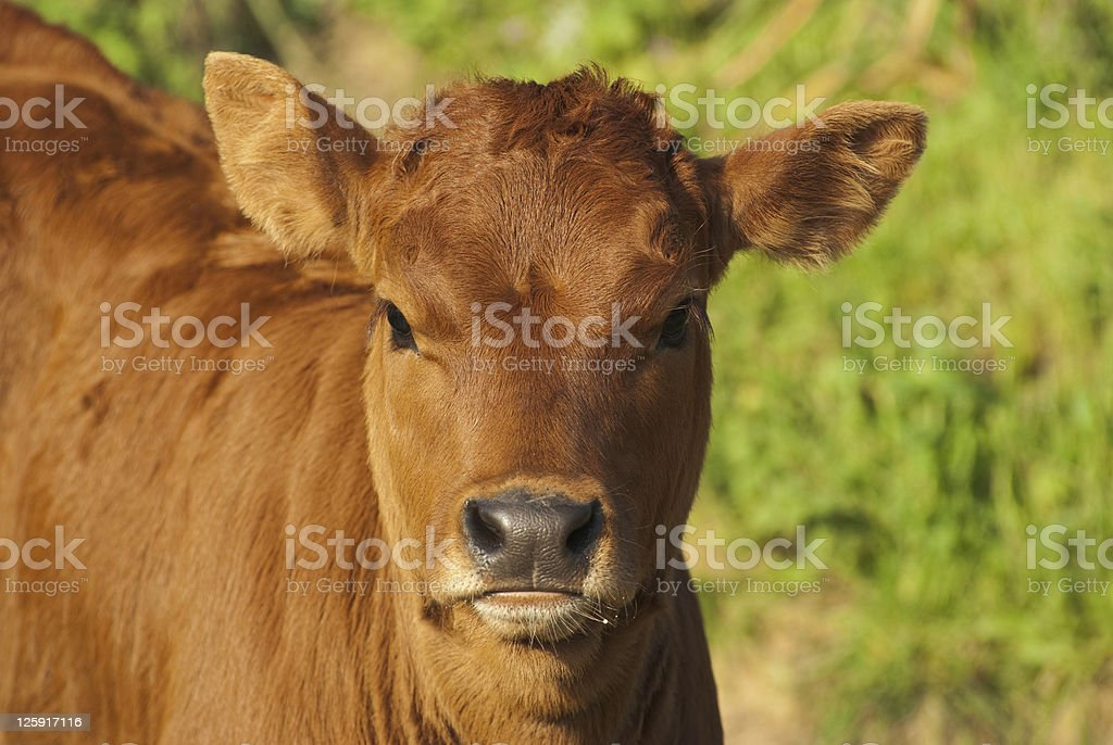 headshot for young calf royalty-free stock photo