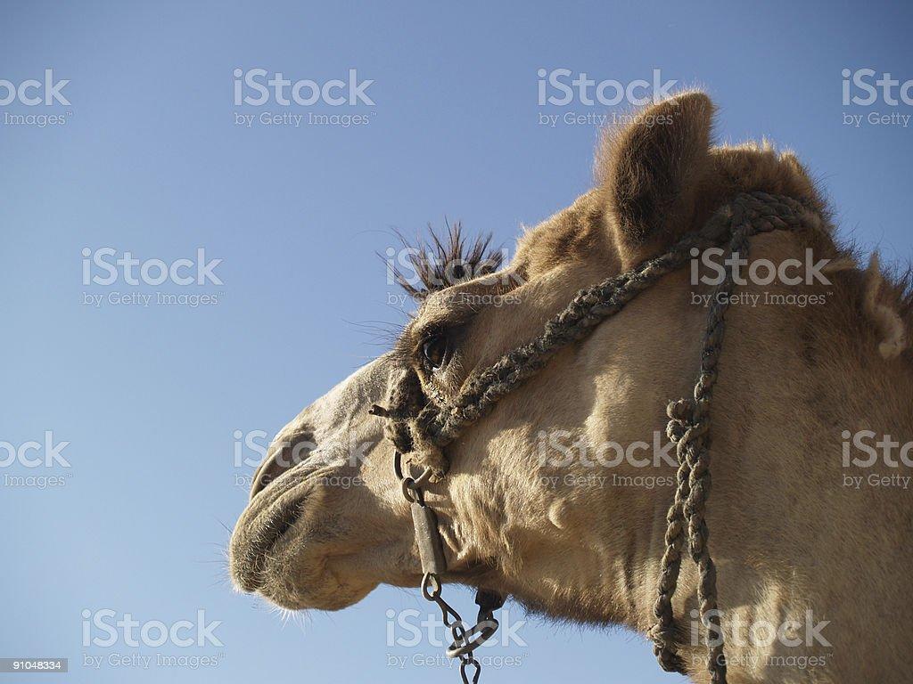 Headshot of a camel stock photo